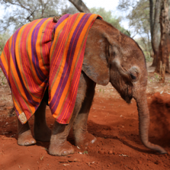 How IAIA members are supporting baby elephants